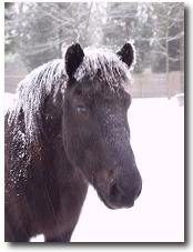 picture of an icelandic horse